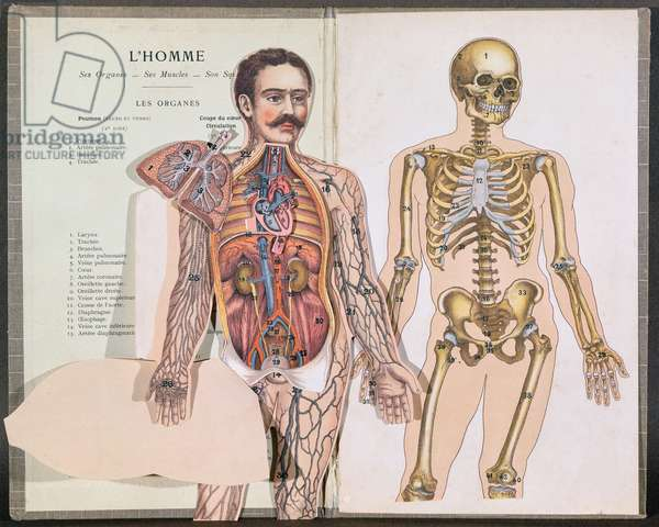 Man, his Organs, his Muscles and his Skeleton, from 'Anatomie Elementaire' by Dr. Lelievre (colour litho)