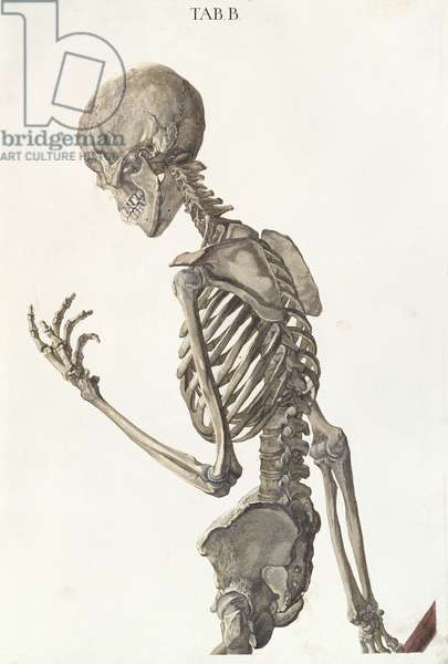 Bones of the skeleton, from 'Tabulae Osteologicae' by Christoph Jacob Trew (1695-1769) engraved by G. Lichtensteger, 1740 (coloured engraving)