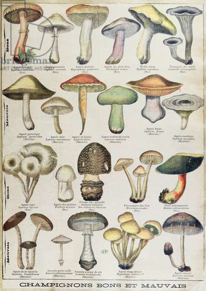 Botanical plate depicting 'Good and Bad Mushrooms', c.1900 (colour litho)