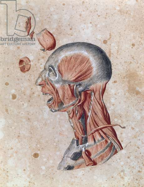 Anatomy of the head, drawn by a student (coloured pencil on paper)