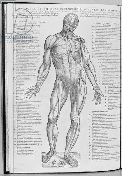 Anatomical study, illustration from 'De Humani Corporis Fabrica Librorum Epitome' by Andreas Vesalius (1514-64) published in Basel, 1543 (engraving) (b/w photo)