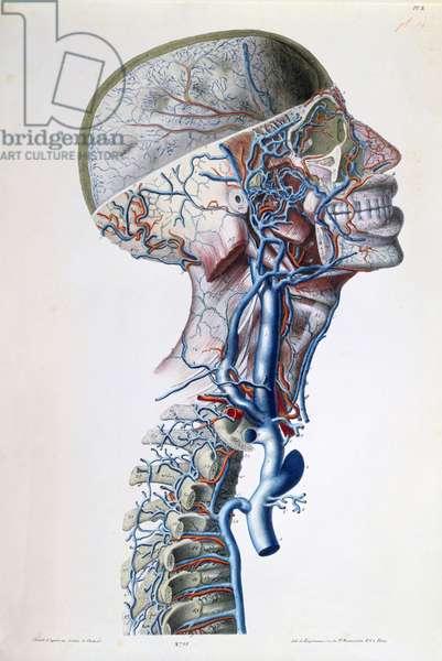 Veins and arteries in the head, plate from 'Recherches Anatomiques, Physiologiques, et Pathologiques sur le System Veineux' by Gilbert Breschet (1784-1845) engraved by Engelmann, Paris, 1829 (colour litho)
