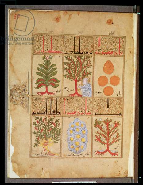 Ms. Arabe 2964 fol.57 Medicinal plants for the theriac, from 'Treatise of Theriac' after Galien, 1217 (vellum)