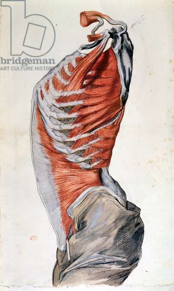 Anatomy of the torso, drawn by a student (coloured pencil on paper)