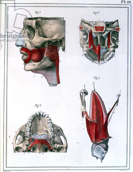 Anatomy of the throat and jaw, from 'Manuel d'Anatomie descriptive du Corps Humain' by Jules Cloquet (1790-1883) 1825 (colour litho)