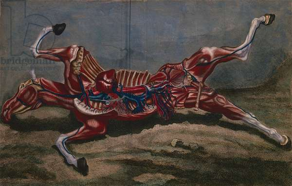 Anatomy of a horse, from 'Cours d'Hippiatrique ou Traite Complet de la Medecine des Chevaux' by Philippe-Etienne Lafosse (1738-1820) engraved by Claude Fessard, 1772 (coloured engraving)