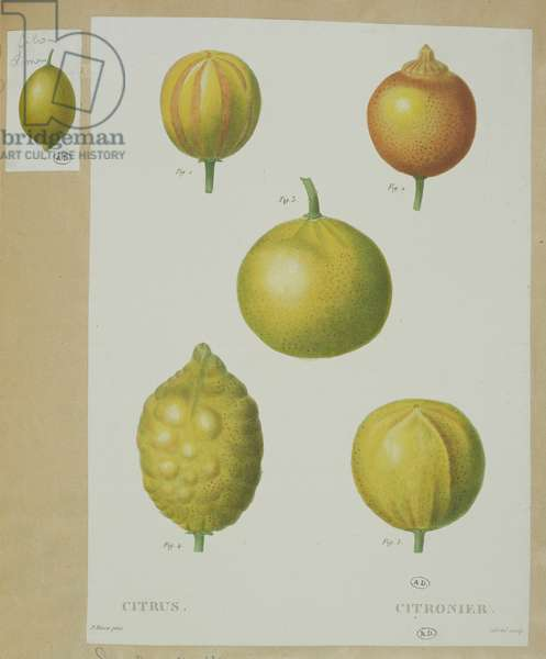 Lemons, engraved by Gabriel (coloured engraving)