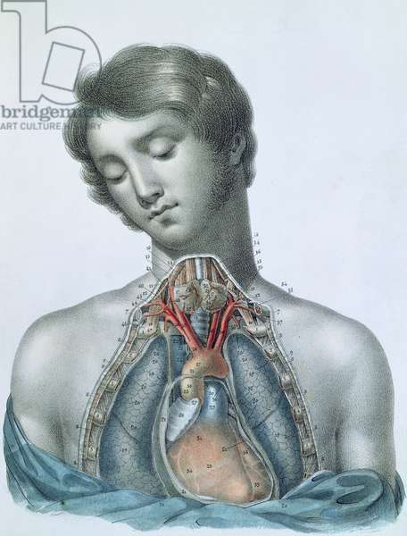 The heart and organs in the chest, from 'Manuel d'Anatomie descriptive du Corps Humain' by Jules Cloquet (1790-1883) engraved by G. de Frey, 1825 (colour litho)