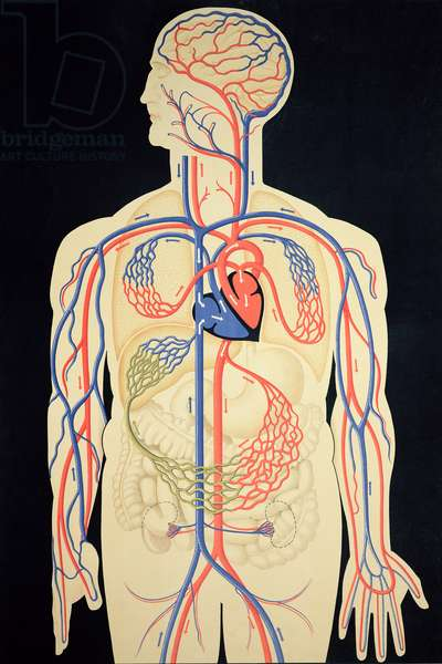 Diagram of the circulation of the blood, after an original by Dr. O.Th. Weiss, 1950 (colour litho)