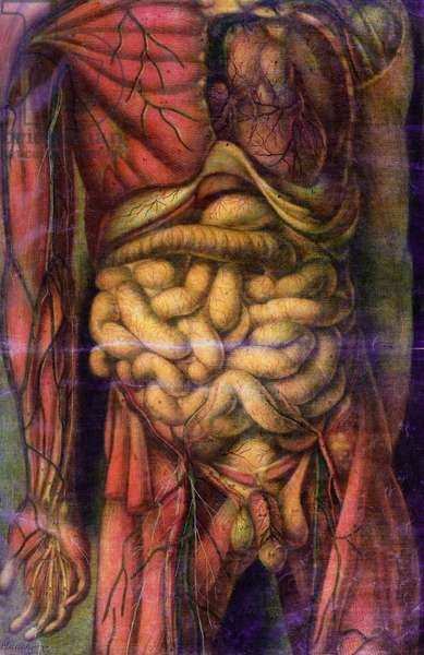 Torso of a man showing the intestines, from 'Anatomie Generale des Visceres en Situation', 1752 (mezzotint)