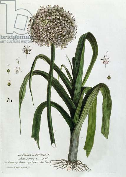 The Leek, from 'La Botanique Mise à la Portée de Tout le Monde', by Nicolas Francois Regnault (1746-1810), published in Paris, 1774 (coloured engraving)