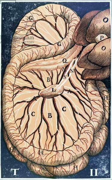 The Pancreas (colour litho)