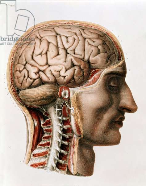 The Brain, plate from 'Traite Complet de l'Anatomie de l'Homme' by Jean-Baptiste Marc Bourgery (1797-1849) 1866-67 (coloured engraving)