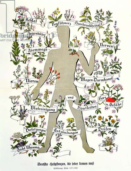 The Medicinal Plants and their effect on the body; plate from an Almanac, 1942 (colour engraving)