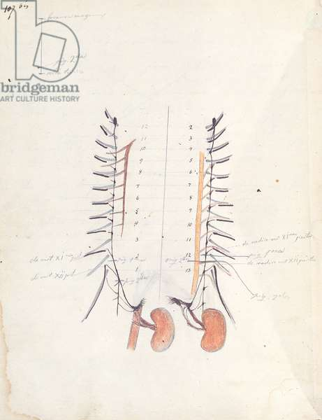 The Kidneys, c.1843 (pen & ink and coloured pencil on paper)