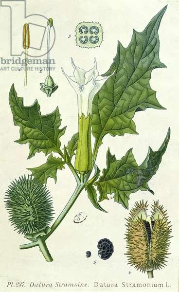 Datura stramonium, botanical plate (colour litho)