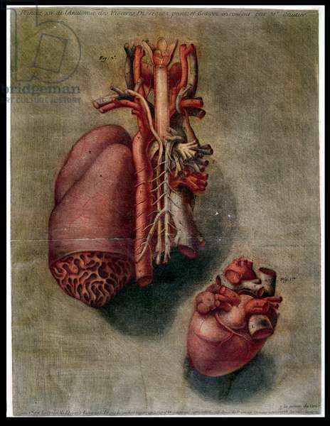 The Heart, plate from 'Anatomy of the Visceras, dissected, painted and engraved by Gautier' (colour engraving)