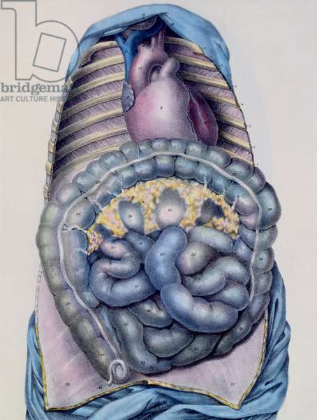 Anatomy of the large intestine, from 'Manuel d'Anatomie descriptive du Corps Humain' by Jules Cloquet (1790-1883) engraved by G. de Frey, 1825 (colour litho)