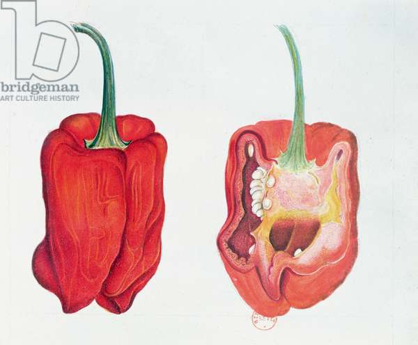 Red Pepper, botanical plate (w/c on paper)