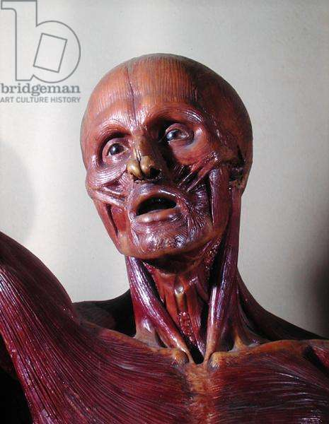 Detail of an anatomical model made under the supervision of Felice Fontana (1730-1805) (wax)