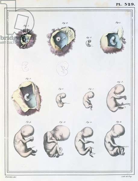 Diagram showing the stages of embryonic development, from 'Manuel d'Anatomie Descriptive du Corps Humain' by Jules Cloquet (1790-1883) engraved by de Frey, 1825 (colour litho)