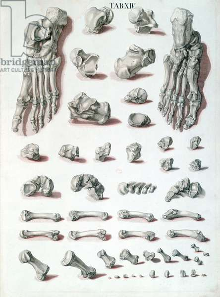 Bones of the foot, from 'Tabulae Osteologicae' by Christoph Jacob Trew (1695-1769) engraved by G. Lichtensteger, 1767 (coloured engraving)