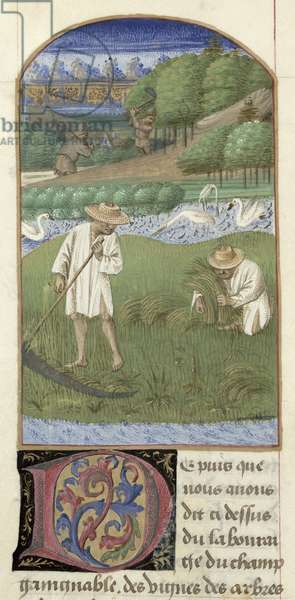 Ms 340/603 fol.8 Harvesting, from 'Le Rustican' by Pietro de Crescenzi (1230-1320/21) c.1460 (vellum)