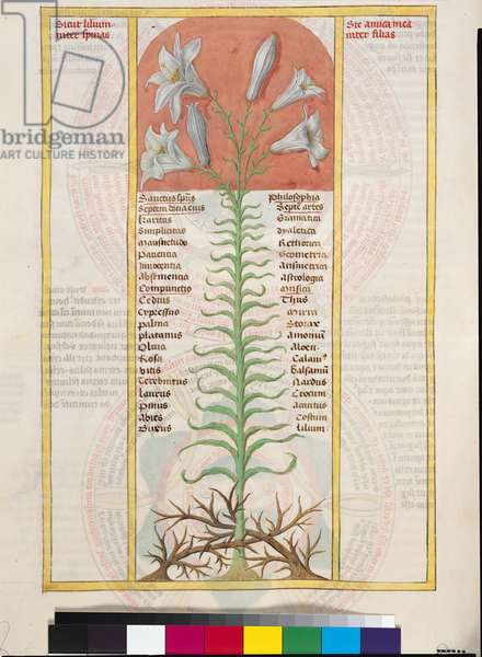 Ms 724/1596 f.32v A Lily Entwined with Thorns, illustration from 'Liber Floridus', c.1448 (vellum)