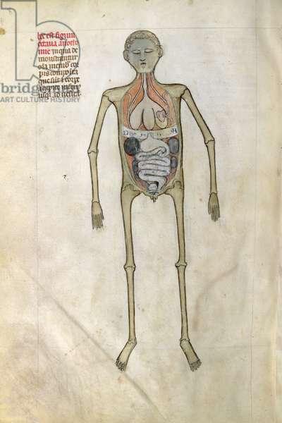 Ms 334/569 fig.8 Anatomical figure showing the diaphragm from, 'Liber notabilium Philippi Septimi, francorum regis, a libris Galieni extractus', by Guy of Pavia, 1345 (vellum)