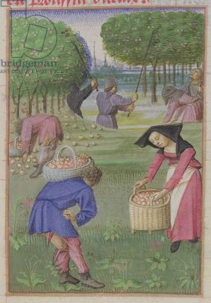 Ms 340/603 f.6 Picking Apples, from 'Le Rustican' by Pietro de Crescenzi (1230-1320/21) c.1460 (vellum)
