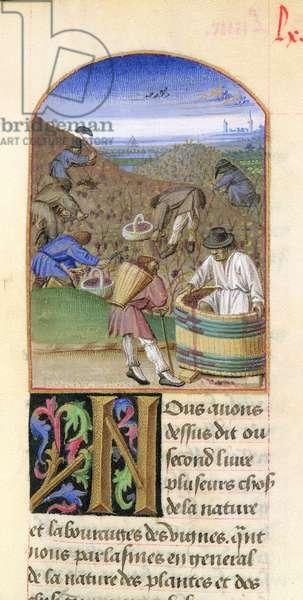 Ms 340/603 Grape gathering, from 'Le Rustican' by Pietro de Crescenzi (1230-1320) c.1460 (vellum)