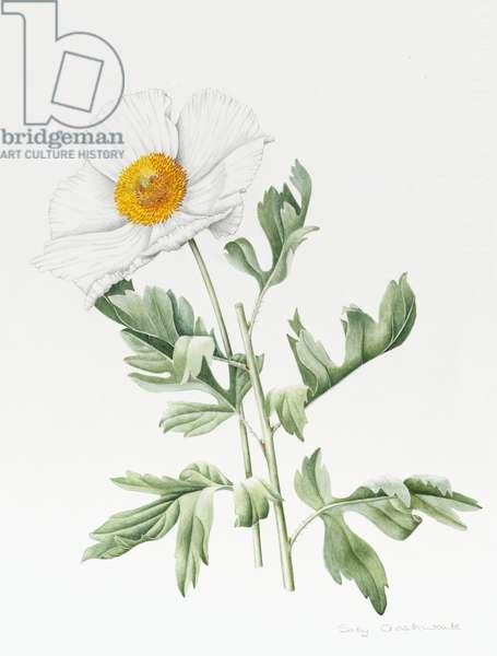White Poppy (w/c & pencil on paper)
