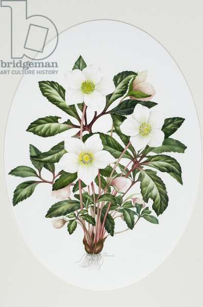 Christmas Rose Oval (w/c on paper)