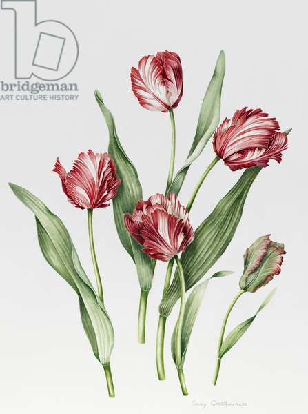Pink Parrot Tulips (w/c with pencil on paper)