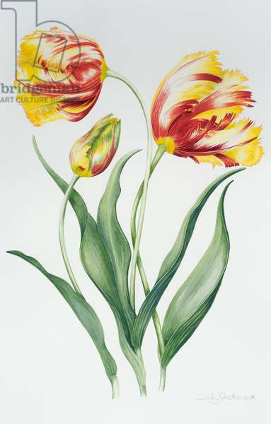 Red Yellow Parrot Tulip Group (w/c on paper)