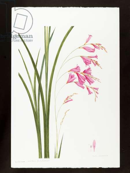 Dierama pulcherrium (w/c on paper)
