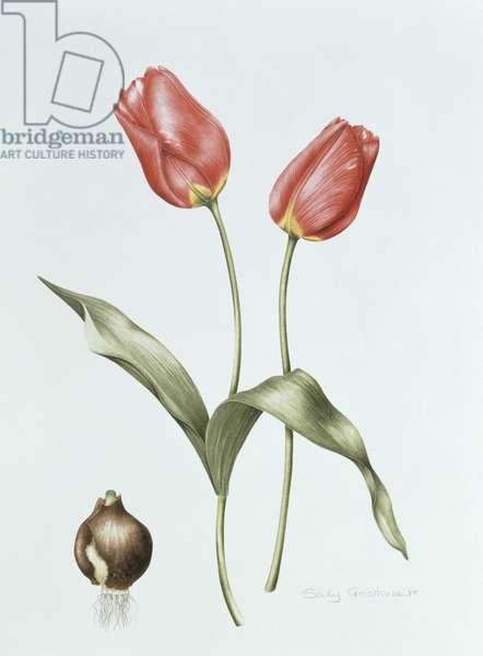 Tulip 'Red Darwin' (w/c on paper)