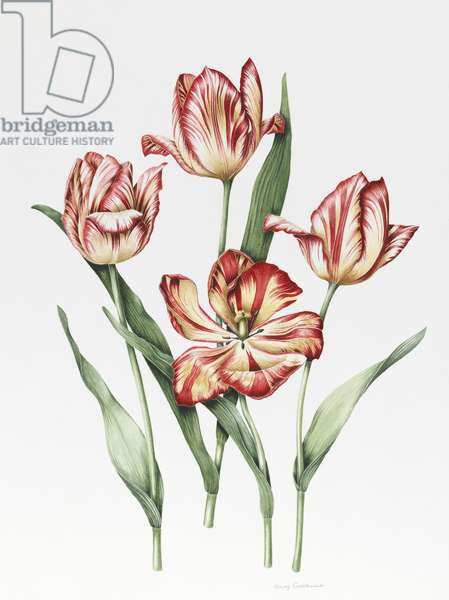 Hatfield Tulip (w/c & pencil on paper)