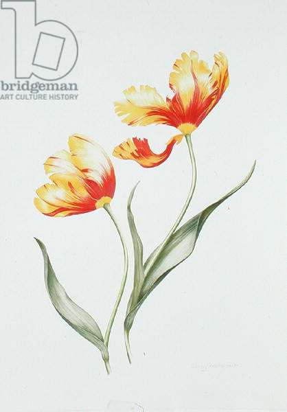 Red and Yellow Parrot Tulip (w/c on paper)