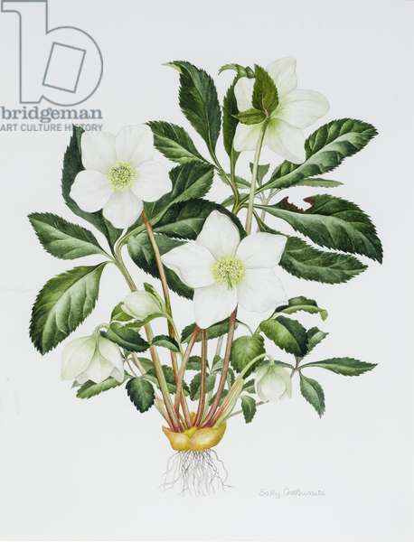 Christmas Rose (w/c on paper)