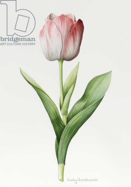 'Meissner Porsellan' Tulip (w/c with pencil on paper)
