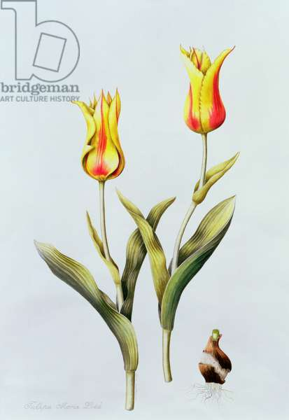 Tulipa Mona Lisa (Tulip) 1997 (w/c on paper)