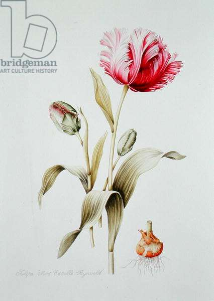 Pink and White Parrot Tulip (w/c on paper)