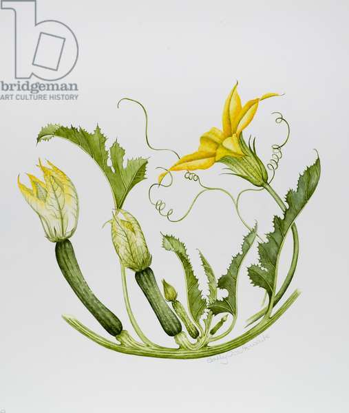 Courgettes (w/c on paper)