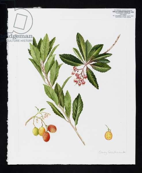 Strawberry tree (w/c on paper)
