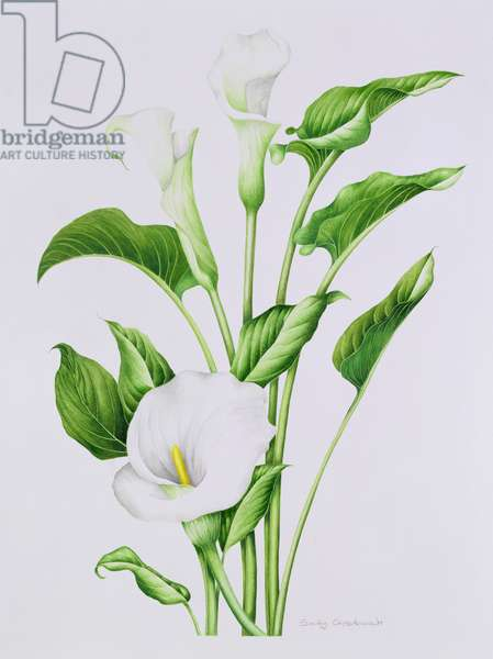 Arum lily (w/c on paper)