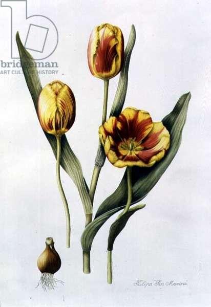 Tulipa San Marina (Tulip) 1997 (w/c on paper)