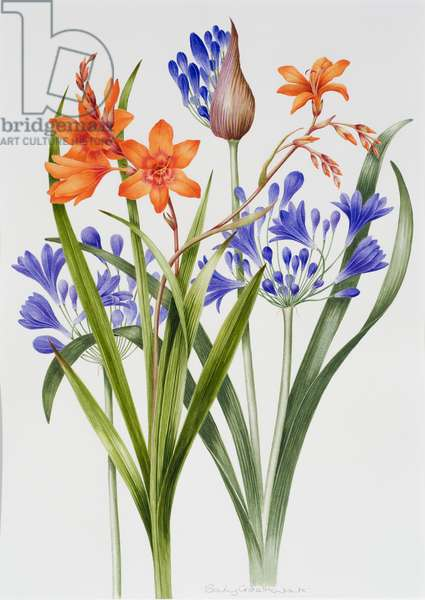 Crocosmia and Agapanthus (w/c on paper)