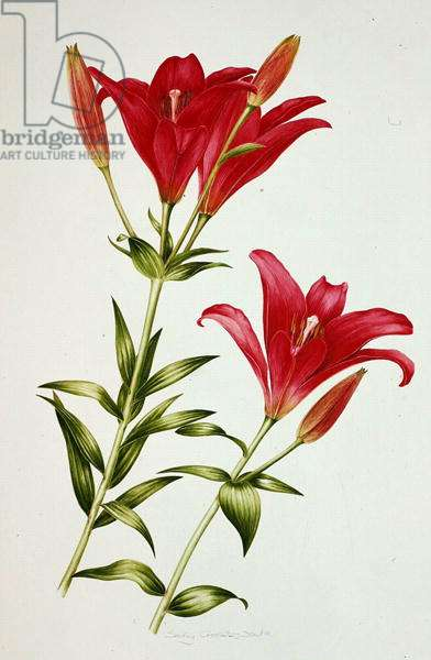 Red Lily (w/c on paper)