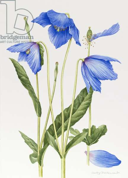 Blue Meconopsis (w/c with pencil on paper)